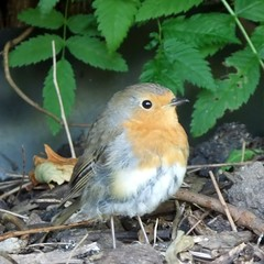 "Resident Robin, Pagoda Vista, Royal Botanic Gardens, Kew @ 21 June 2014 (Kam Hong. Leung) Tags: park wood red summer orange plant flower tree green bird london nature ecology crimson robin yellow festival kew fauna scarlet garden gold golden pagoda spring flora education nest wildlife feather conservation science tropical vista environment bud hybrid botany horticulture rbg biodiversity resident rspb botanist temperate horticulturist kew"" ""kewgardens"" ""royalbotanicgardens 'rbgkew"" ""friendofkew"" ""patronofkew"" ""yourkew"" ""carlosmagdalena"" ""kamhongleung"" ""leungkamhong"" ""londonpark"" ""naturalneighbourhood"" ""pagodavista"""