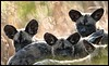 "The Brady Bunch (A.M.G.1) Tags: africa wild dog film dogs nature animals southafrica photo pups photographer african wildlife review krugernationalpark borntobewild goodman wilddog andygoodman ngala naturesfinest southafricanwildlife africanwilddogs amg1 ultimateshot photographer"" southernafricanwildlife wildlifesouthafrica nginationalgeographicbyitalianpeople btbw wildlifeinsouthernafrica africanwildlifephotographer wildilfephotographer"