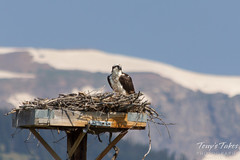 Female osprey with the Grand Tetons in the background