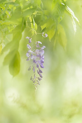 Wysteria (Gies!) Tags: