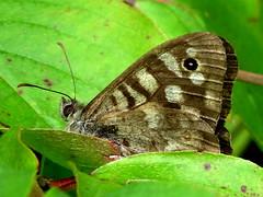 Erdei szemeslepke (Pararge aegeria) (llathatroz) Tags: nymphalidae nymphalinae
