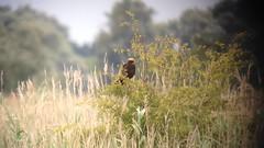 Marsh Harrier (circus aeruginosus) (mrm27) Tags: ouse harrier rspb circusaeruginosus marshharrier ousefen ousefenrspb rspbousefen