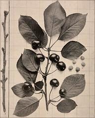 Anglų lietuvių žodynas. Žodis rocky mountains cherry reiškia uoliniai kalnai vyšnių lietuviškai.