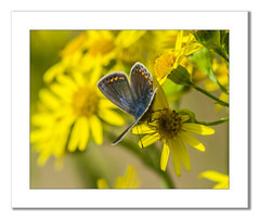 Common Blue Butterfly (female) (Travels with a dog and a Camera :)) Tags: park uk blue england southwest west macro art female digital photoshop butterfly bristol pentax unitedkingdom south july cc icarus common tamron 56 ld lightroom 2014 polyommatusicarus redfield commonbluebutterfly polyommatus f456 k30 af70300mm tamronaf70300mmf456ldmacro netham justpentax pentaxart nethampark pentaxk30 lightroom56 photoshopcc2014
