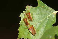 Birch shieldbugs (Elasmostethus interstinctus) (bramblejungle) Tags: bug garden insect birch shieldbugs elasmostethus interstinctus
