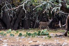 Whitetail Buck Exploring the Woods (GizmoPhoto.co) Tags: trees nature animal oak woods nikon texas wildlife exploring south deer nikkor buck 70300mm whitetail 70300 d600