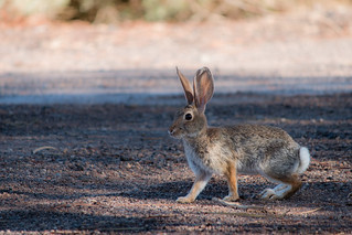 Rabbit - Web