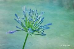 Blue Flower Reprocessed (guizhou2012) Tags: texture nikon pattern outdoor flypaper memoriesbook