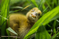 inquisitive duckling (Any Camera Will Do!!!) Tags: photography michael williams michaelwilliamsphotography