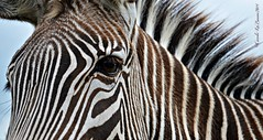 CLJ_2973 Zebra.c (caroles_corner) Tags: blackandwhite white black nikon stripes assignment zebra tsc d7000