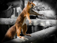 """'I'm telling you man, it was this big!"""" (pootlepod) Tags: animal squirrel funny humour redsquirrel wldlife"""