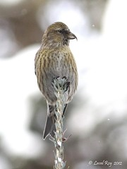 1.30812 Bec-crois bifasci (immature) / Loxia leucoptera leucoptera / White-winged Crossbill (Laval Roy gone birding to MX till mid-may) Tags: birds canon aves qubec oiseaux parcdeslaurentides passeriformes whitewingedcrossbill fortmontmorency fortborale fringillids eos7d beccroisbifasci loxialeucopteraleucoptera ef300mm14lisextender14xiii lavalroy