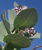 Calotropis procera, Karumba Pt, QLD, 11/06/14 (Russell Cumming) Tags: plant weed queensland apocynaceae normanton calotropisprocera calotropis karumbapt