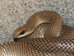 Rufous beaked snake_2014.09.11 (1 of 5) (Urutu_From_SW_PA) Tags: rearfanged rhamphiophis beakedsnake rufousbeakedsnake rearfangedsnake rhamphiophisoxyrhynchus