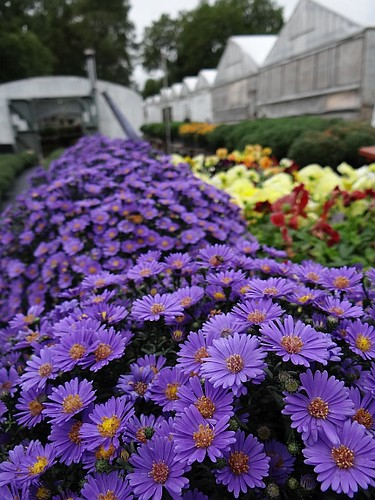 Asters, Pansies, Mums & more ...