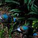 Wild Turkeys at Tikal National Park