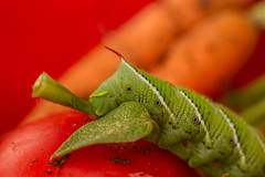 IMG_7656 (totoksks) Tags: color green garden tomatoes moth manduca tomatoworm quinquemaculata catrpillar