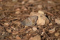Mariposa camuflada (esta_ahi) Tags: barcelona españa insectos fauna butterfly spain lepidoptera mariposa penedès papallona nymphalidae satyrinae испания torrellesdefoix