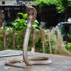 The Poison Owner (@ritrA Indi@N dUtt@) Tags: forest cobra dof outdoor snake poison incredible bengal venom