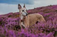 Posing in the heather (Sarah-86) Tags: portrait dog nikon fife heather hill whippet d700 nikonafs7020028vrii