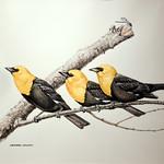 """<b>Yellow-Headed Blackbirds</b><br/> Christopher Cudworth<a href=""""http://farm6.static.flickr.com/5564/15260274662_ba4f115b19_o.jpg"""" title=""""High res"""">∝</a>"""