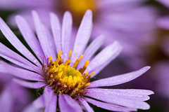 Purple Daisy (AmbitiousJam) Tags: floral garden purple daisy floralappreciation