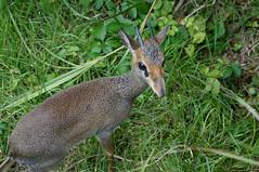 (Y.UTU) Tags: animal zoo sony   dikdik  fujisafaripark    nex6  guntersdikdik