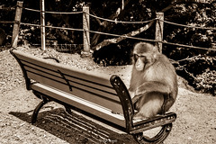 Monkey sitting on a bench (paztravels) Tags: animal animals arm armrest art artistic beast beautiful bench black blackandwhite body break business chill chilling clever concept conceptual daily everyday funny fur ground human humanbehaviour humanlike japan kyoto life look lucky magazine mean meanlook monkey monkeybusiness monkeylife monkeys nature noperson particular photo photography primate random real relax rest resting see sephia shadow sit sitdown soil stare strange weird white monochrome