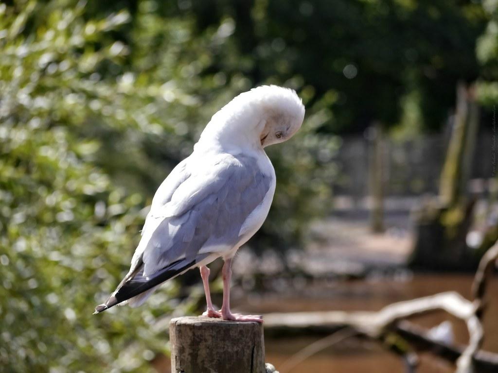 Sea Gull - pruning away
