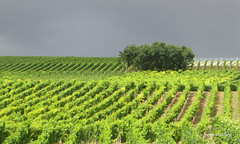 19-IMG_7477 (hemingwayfoto) Tags: bodenheim landschaft landwirtschaft regen rheinlandpfalz rheinterasse weinbau weinberg weinstock wetter wetteralbum wingert wolken