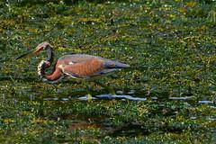 Tri-colored heron (M. Coppola) Tags: tampa florida egrettatricolor tricoloredheron