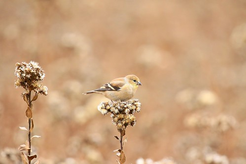 American goldfinch eating stiff goldenrod seed at Decorah Fish Hatchery IA 854A8702