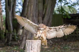 European Eagle Owl - 6 Months Old