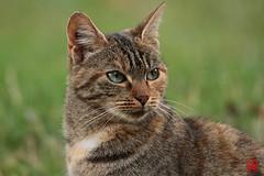 Les yeux plein de tristesse d'un chat abandonn... (mamnic47 - Over 6 millions views.Thks!) Tags: bagatelle paris16me jardinsdebagatelle parcdebagatelle automne 15102016 img3141 chat chatsauvage abandon chatabandonn
