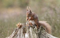 Scotland (richard.mcmanus.) Tags: scotland scottishhighlands squirrel redsquirrel britishwildlife mammal animal blackisle mcmanus jamesmoore wildlife gettyimages