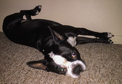 What...? (lezumbalaberenjena) Tags: birthday cumpleaos dog chien chiot bully boston terrier