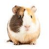 brown guinea (granja la luna) Tags: hamster guinea pig closeup isolated hairy mammal white brown fur ears macro cute funny over up close adorable tame claws furry whiskers gerbil pet detail nose animal rodent