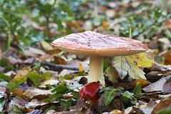 Paddenstoelen in Marlot (marjanverkaik) Tags: paddestoelen herfst langesluitertijden statief haagsebos marlot denhaag marjanverkaikzonmaan mushrooms