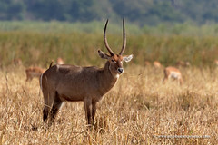 Waterbuck (My Planet Experience) Tags: waterbuck kobusellipsiprymnus male horns antelope wildlife animal portrait horizontal grass nopeople day colourimage liwonde national park malawi mw southern africa myplanetexperience wwwmyplanetexperiencecom