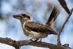 Kookaburra Para Wirra Conservation Park SA (danny.mccreadie2) Tags: kookaburra para wirra conservation park sa