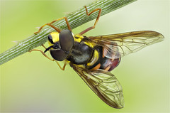 Syrphidae, Chrysotoxum triarcuatum (male) (dorolpi) Tags: