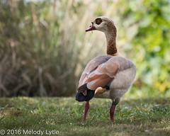 Egyptian Goose (karenmelody) Tags: alopochenaegyptiaca anatidae animal animals anseriformes bird birds egyptiangoose geese goose vertebrate vertebrates