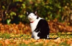 Grinchie pink lips (lisheeny) Tags: cat feline pet animal autumn leaves orange