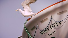 Freedom before sharpness (babs van beieren) Tags: 7dwf faunasunday fauna bird seagull freedom boat ferry