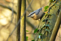 Nuthatch (kevinwolves) Tags: nuthatch bird baggridgecountrypark baggeridge nature wildlife kevinwolves nikon nikond300 sigma sigma135400mm