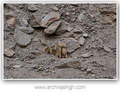 Glimpses from Ladakh, Jammu and Kashimir, India (Archna Singh Photography and Design Studio) Tags: canon ladakh zanskar jammukashmir khardungla rohtang tsokar india nature tropicaldesert buddhism