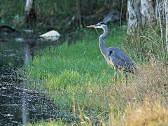 Great Blue Heron 20161205 (Kenneth Cole Schneider) Tags: florida miramar westbrowardwca