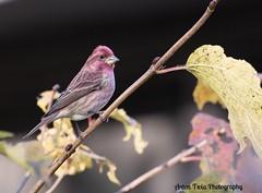 Purple Finch (Anton Troia) Tags: elements songbird bird finch