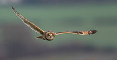 Short Eared Owl - Heartwood Forest - Last Year (irelaia) Tags: flight bird wild shortie seo forest heartwood owl eared short