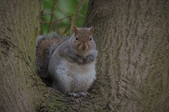 Grey Squirrel (mike_j's photos) Tags: grey squirrel wild nuts painfulbite gray tree grinning